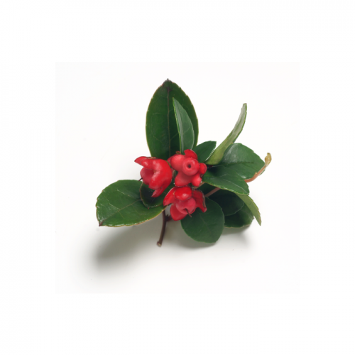 Wintergreen Essential Oil - Brijon Naturals